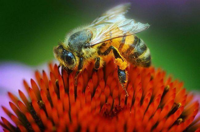 Včela sedí na květu echinacea v zahradě v Salina, Kan.