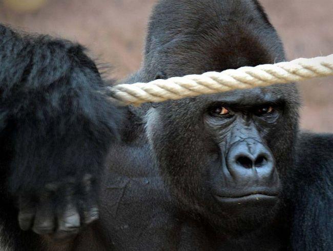 Richard, gorilí samec, ve svém výběhu v zoo v Praze Tróji.