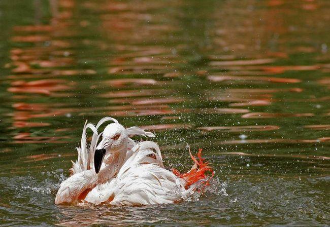 Flamingo se ochladí v rybníku v zoo v Praze.