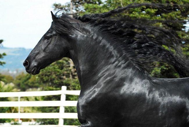 Frizijske konj.