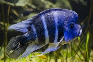 Фронтоза: аквариумная рыбка