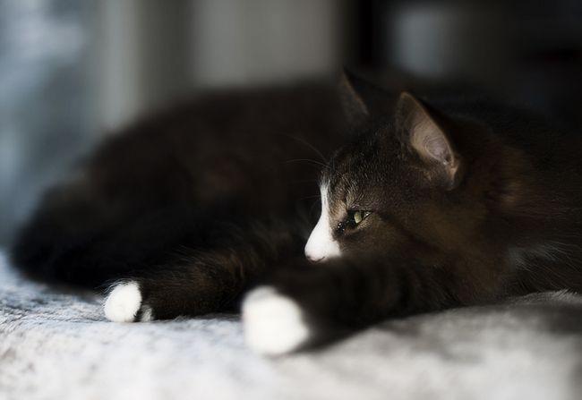 Фунгин для кошек: лекарство от лишая