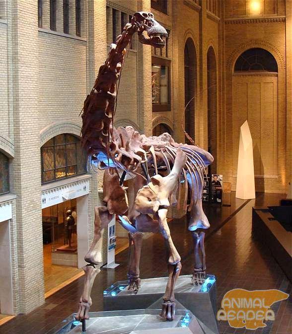 Kostur futalognkosaurus Ontario muzej, Kanada
