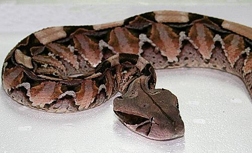 Габонская гадюка - одна из самых ядовитых змей в мире