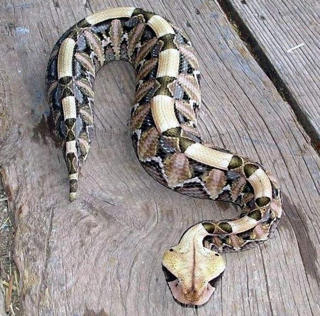 Gaboon zmije imaju neobične boje, koji pomaže da bi se prikrilo zmija.
