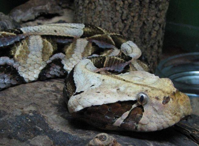 Gaboon zmije - aka manioke.