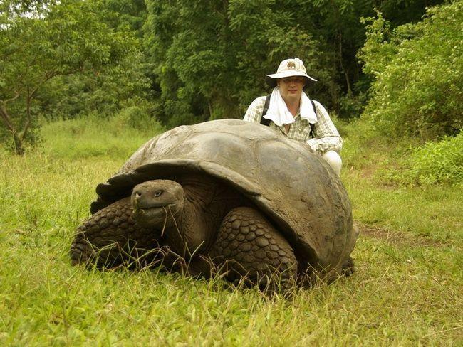 Galapagos kornjače su potpuno sigurne za ljude, koji, međutim, uživala i od skoro je dovela do izumiranja kornjača.