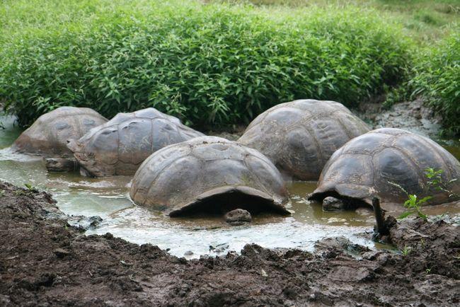 Skoro kao naše svinje, slona kornjače vole da upije tečnost blato. I oni to rade isključivo zbog higijenskih razloga. Jednostavno svinja kornjača tako dobiti osloboditi od parazita.