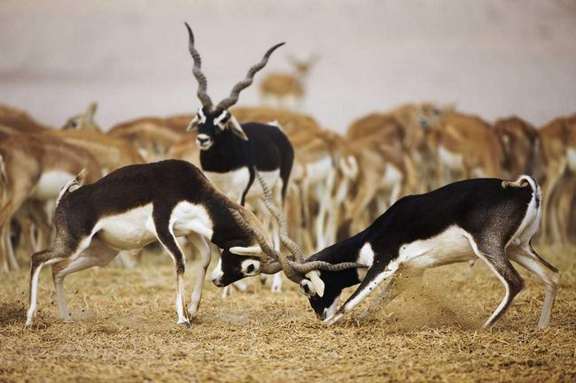 Самцы нередко нарушают границы помеченной территории и начинают драку.
