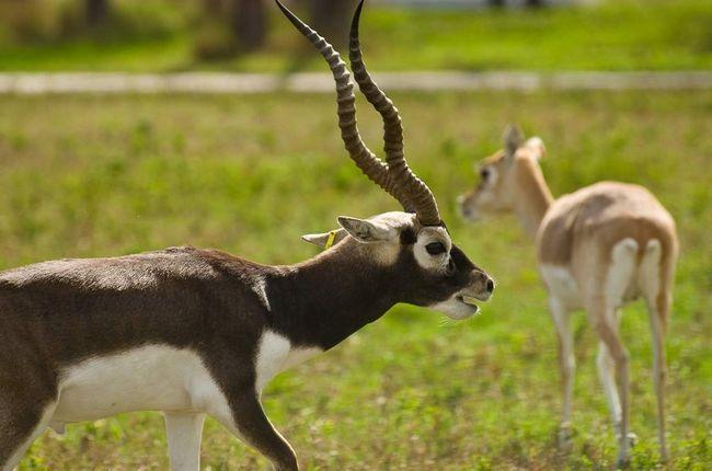 Антилопа гарна - обладательница длинных спиралевидных рогов.