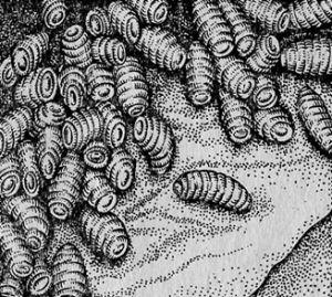 Obr. 3. poraziť kone žalúdok Gadfly larvy Gastrophilus spp. (Pre D. Antipin).