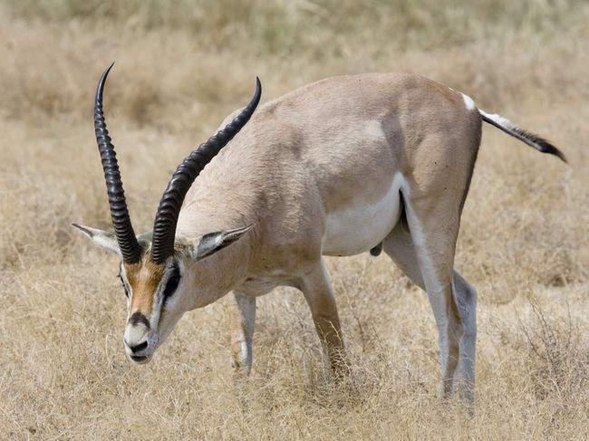 Grant Gazelle (Gazella granti).