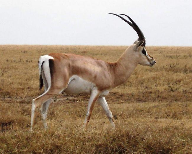 Grant gazela živi na afričkom kontinentu.