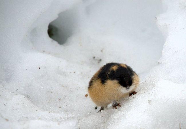 Норка лемминга в снегу