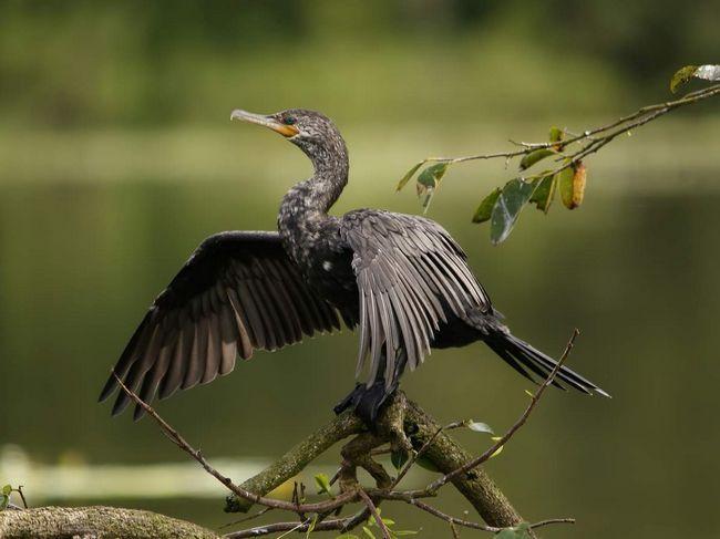 Бакланы - родственники пеликанов.