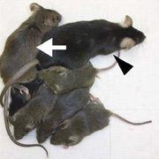 Генетики вывели мышей с двумя отцами