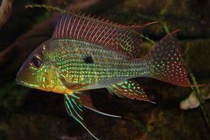 Геофагус — виды аквариумных землеедов