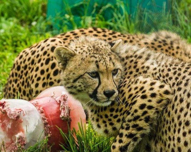 Očigledno, kolač je izvrstan, kao gepardi a zatim pogledao niko im je prišao.