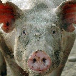 Heterosis u svinja