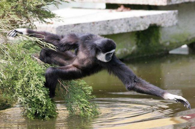 Пить гиббоны не умеют, они опускают руки в воду и слизывают влагу с намокшей шерсти.