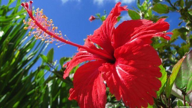 Hibiskus (Kina ruža) propagacije i proizvodnja