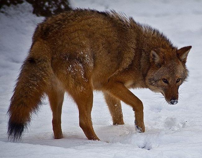 Гибриды волка, койота и собаки захватили восточную часть сша