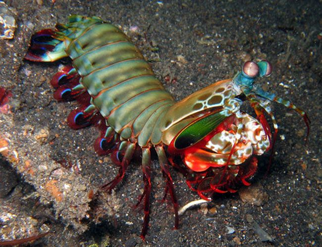 Rak-Mantis razlikuje neobično i vrlo svijetle boje ljuske