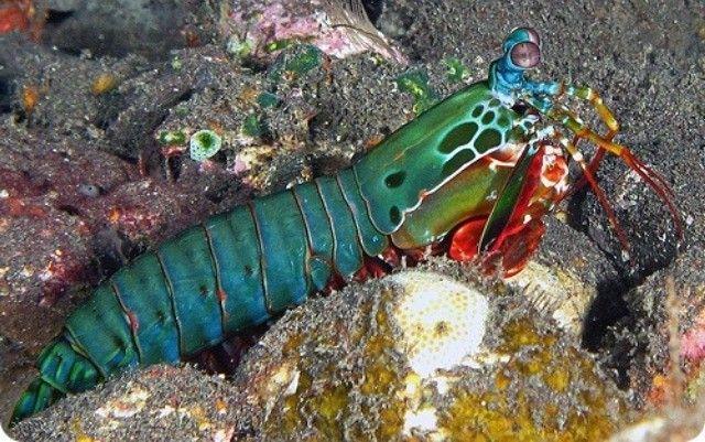 Rak-mantis izgleda cutie, ali to je vrlo agresivna životinja