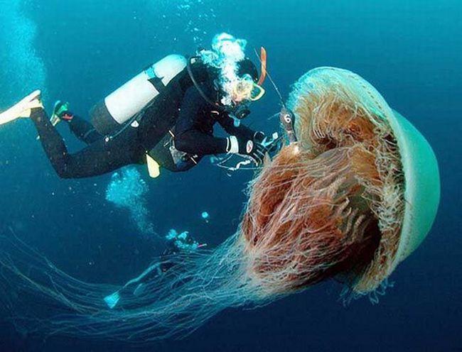 Giant meduza Nomura, SAD obale