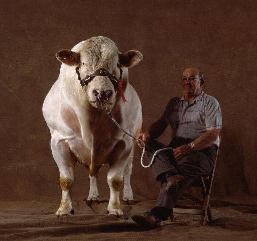 Belgijski gigant krava-čudovišta