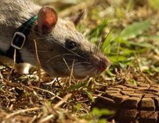 Гигантские крысы находят мины по запаху