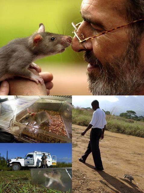 Крысы невелики, их проще прокормить, чем собак, и их легко транспортировать. При этом крысы из проекта HeroRAT ведут себя как ручные животные и с удовольствием гуляют со своими