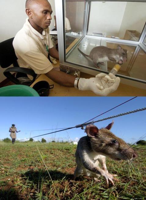 Обучение крыс начинается в лаборатории, а продолжается в поле