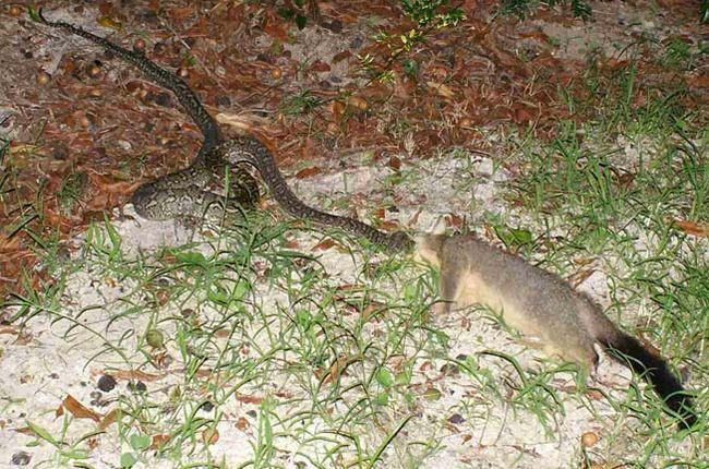 Obří python požití u dospělého jelena