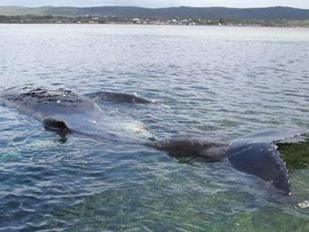 В австралии взорвали больного кита