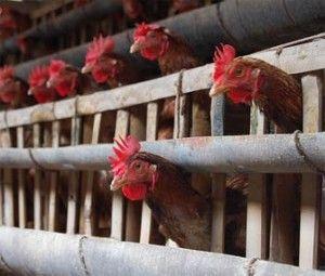 Гигиенически требования к строительству птицеферм