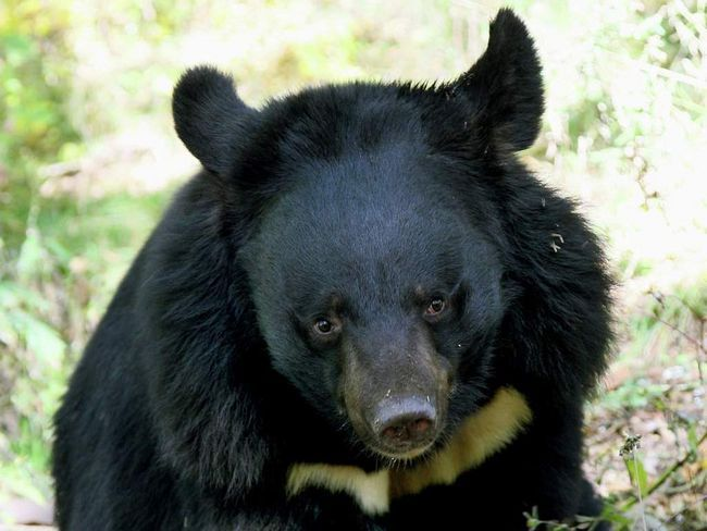 Medved napao trudnu ženu.