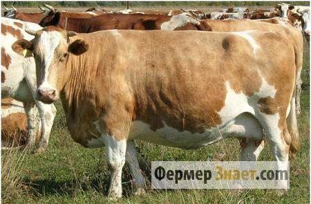 Гиподерматоз крс: чем для коров страшны подкожные оводы
