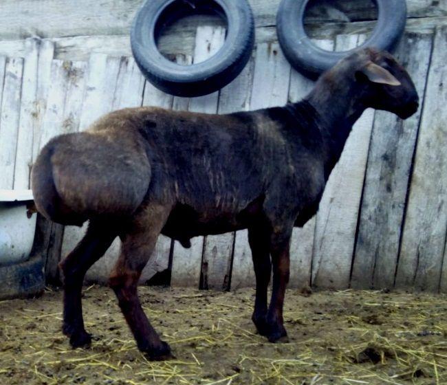 Hissar rase ovaca