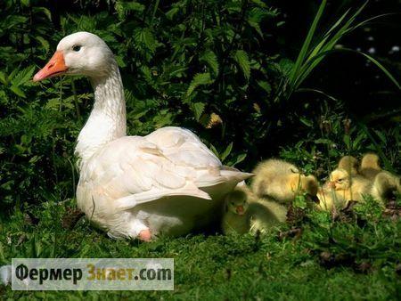 Главное о содержании и разведении домашних гусей