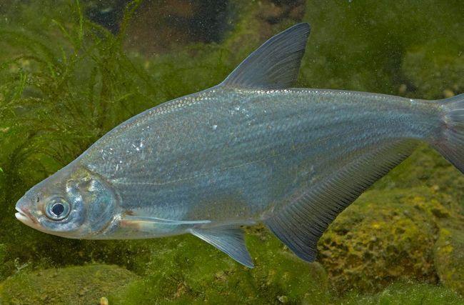 Glazachev ili bijela oka (ballerus Sapa).