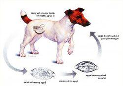 Глисты у собак: признаки, симптомы, профилактика и лечение.