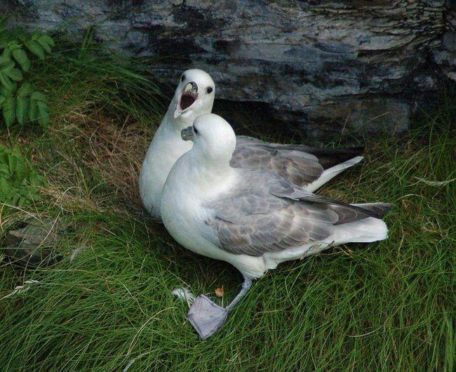 Кормится птица морскими животными и падалью.