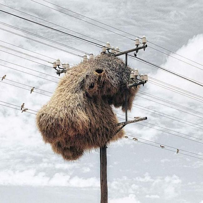 U gnijezda weaverbirds konstantna temperatura. To se postiže posebnim unutrašnju strukturu.