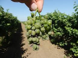 Гниль винограда: защита и профилактика