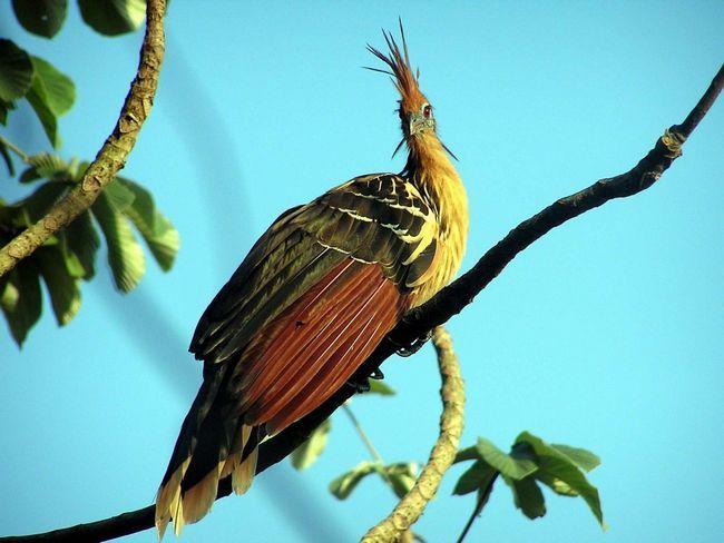 Гоацины очень красивые птицы, которые могут посоревноваться в своей привлекательности с самими павлинами.