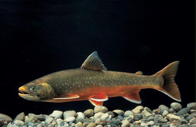 Arctic znakova - grabežljivog ribe.