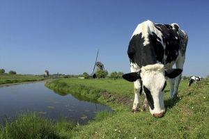 dutch krava