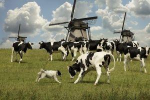 Holandski rase krava uspješno uzgajaju diljem svijeta