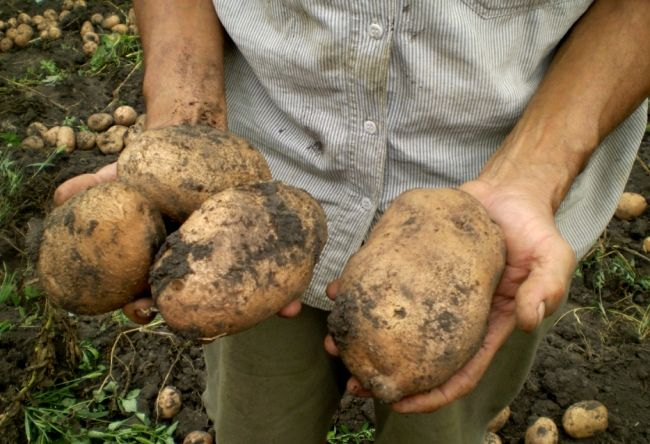 Holandský zemiakov pestovanie technológie